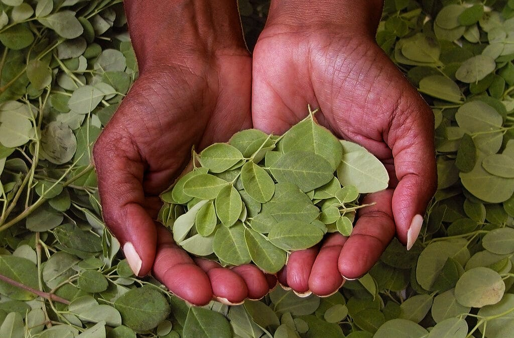Moringa, La planta milagro