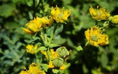 Ruda, planta mágica y medicinal